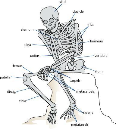 hur många ben finns i kroppen